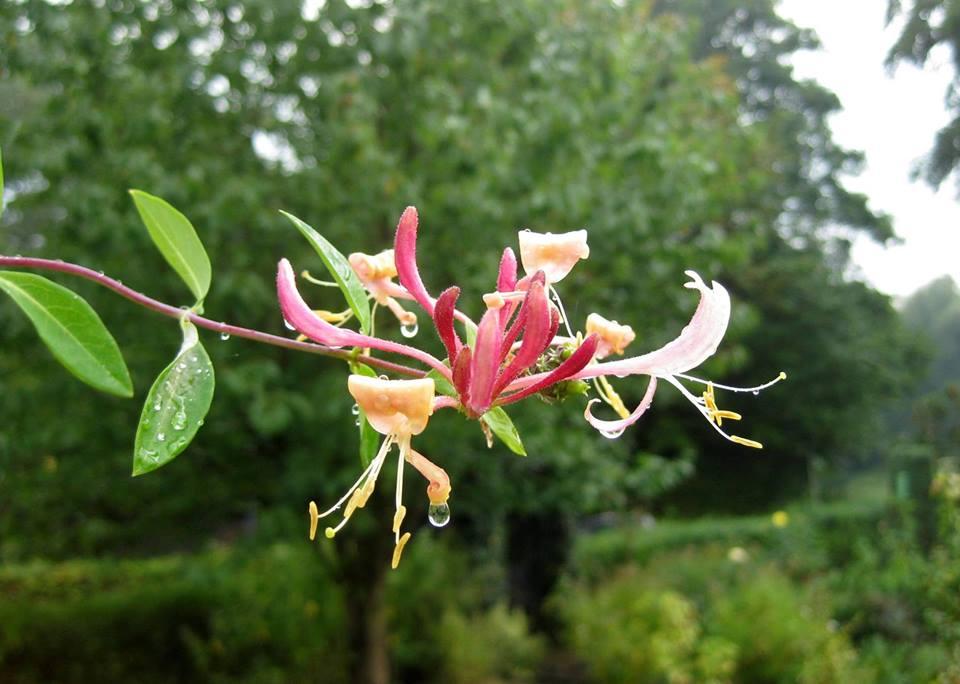Kleingartenverein Hövelhof - Blume